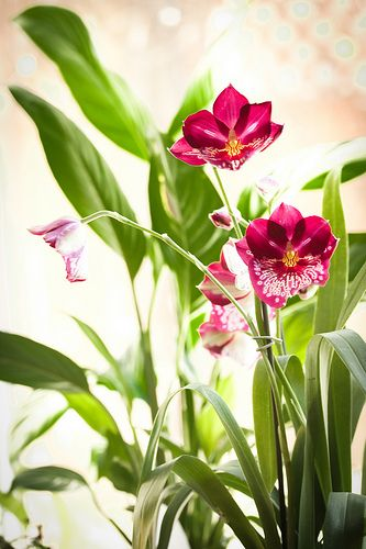 42 Best Images About Miltonia Orchids On Pinterest