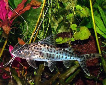 49 best aquarium catfish images on pinterest fish for Fish tank catfish