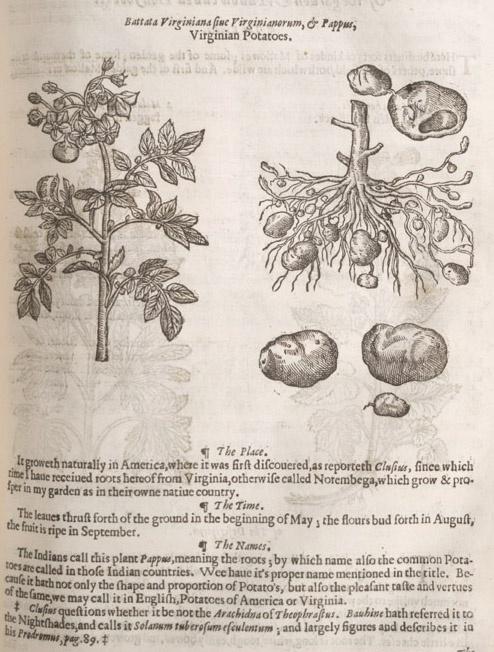 Irish Potato Pudding.  When a Sweet Potato Pie is a sweet, Potato Pie.  Image of Virginia or Irish potato in   John Gerard's The Herball or Generall Historie of Plantes. London: 1633
