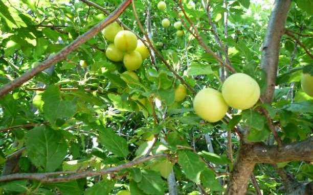 κορόμηλο: ένα εξαιρετικό φρούτο με αντιγηραντικές ιδιότητες