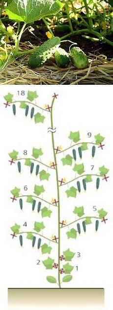 Формирование плетей огурцов - 6 соток