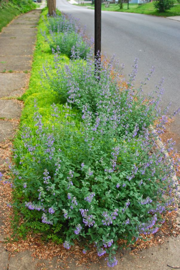 Catmint (Nepeta 'Walker's Low') grows low mounds in our curb strip over ground cover Sedum 'Acre'. ~WMG blog