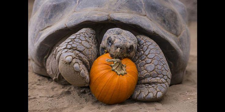 Drôles ou effrayants, les animaux sont prêts pour Halloween au zoo de San Diego