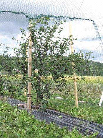 Amelanchier alnifolia 'Thiessen', bärhäggmispel/saskatoon. Härdig stor buske med söta blåa bär i augusti. Vacker under alla årstider: Höjd: 4 m.