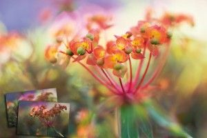 Creative Flower Photography: How to shift the focus using layer blends technique. Digital Camera World.