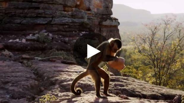 Les noix de palme sont une importante source de nourriture pour les singes capucins