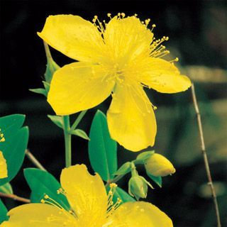 St. Johnswort   A Dye, a Liniment for Joint Pain, a Mood Uplifter -- it's the All-Purpose Herb!