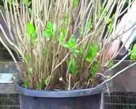Hoe moet ik een hortensia verzorgen? - Tuinieren.nl - YouTube