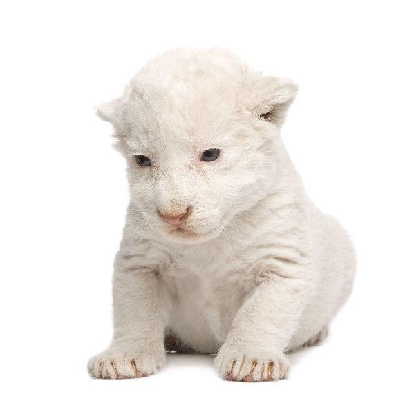 White Lion - baby | white! | Pinterest