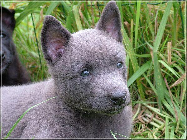 Blue Dutch Shepherd | Dutch Shepherd Forum | Dutch ...