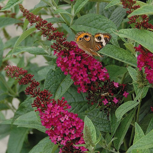 Buddleia 'Miss Molly' butterfly plant- Try some of the newer varieties of butterfly plants like Miss Ruby, Adonis, Guinevere, Blue Chip or the Buzz or Flutterby series. They have larger more long lasting blooms and a smaller scale more suited to the border or foundation plantings