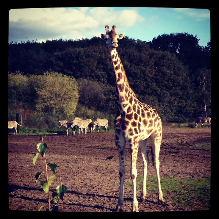 Giraffe bij de Beekse Bergen