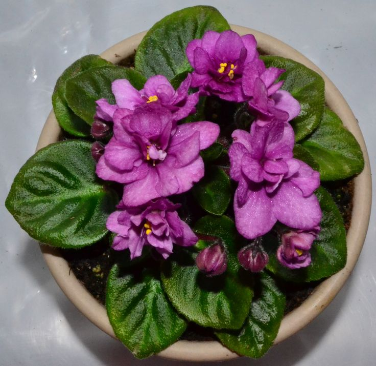 166 Best African Violet Plants Different Foliage Leaf