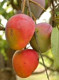 'Edward' mangoes variety is a fiberless cultivar that is sweet, aromatic and considered as one of the finest Florida mangoes