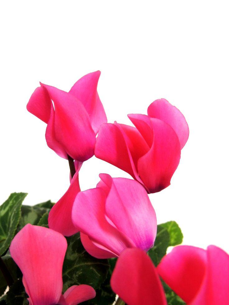 Cyclamen persicum!!! Planta de interior, ideal para el otoño.
