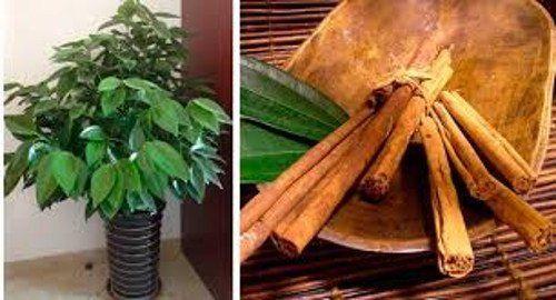 cultivar-canela-en-casa