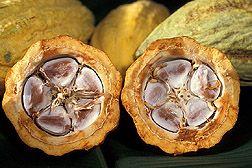 Cacao Pods. Photo: USDA