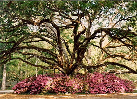 Photo of large old live oak tree covered in spanish moss, surrounded by dark pink azaleas in bloom