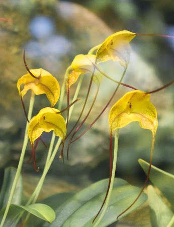 Masdevallia Triangularis #orchid