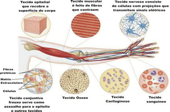 Histologia- tipos de tecidos