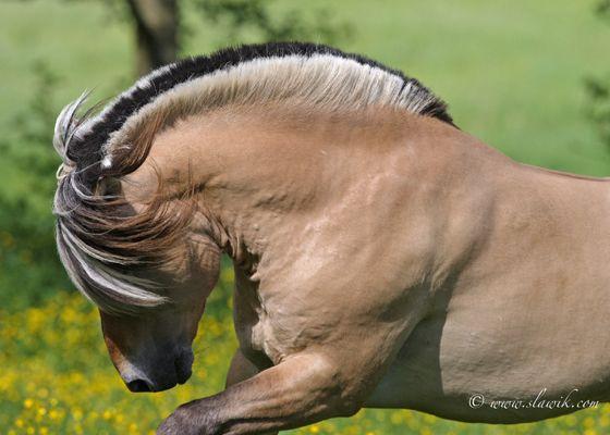 Norwegian Fjord Horse, Fjordinger, Fjordpferd — gorgeous manes with a black central stripe. Foto: Christiane Slawik