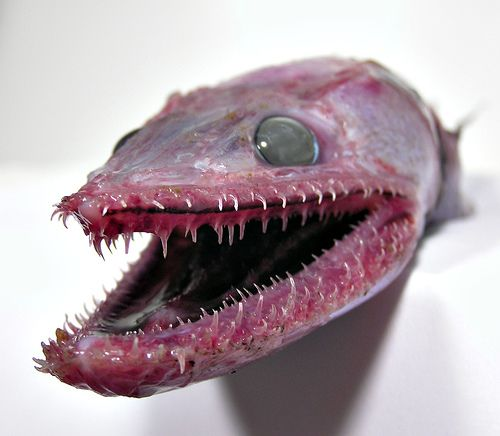 Have you ever seen anything less attractive than the lizard fish.  They have mouths that are completely filled with very spiny sharp rather needle like teeth. Strangely enough even their tongues have teeth on them.