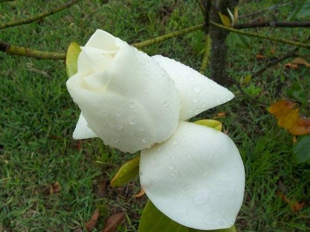 Magnolia Opening-St. Augustine FL