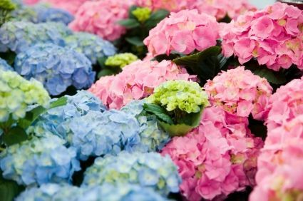 How to Grow Hydrangeas - including quick tricks to change them from blue to pink or back!!!