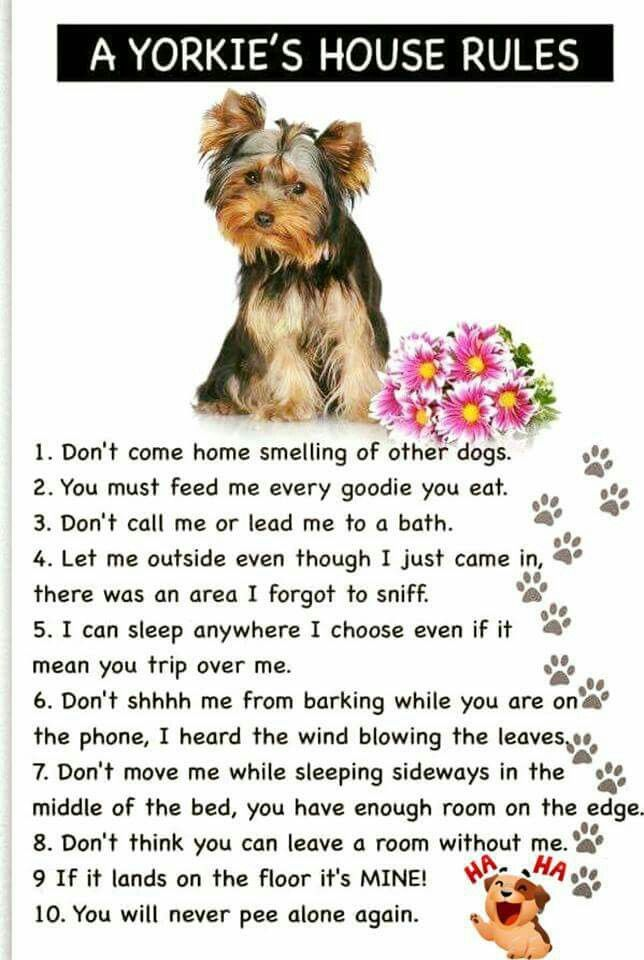 A Yorkie's House Rules...