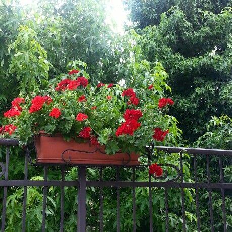 My Gerany flowers in my balcony