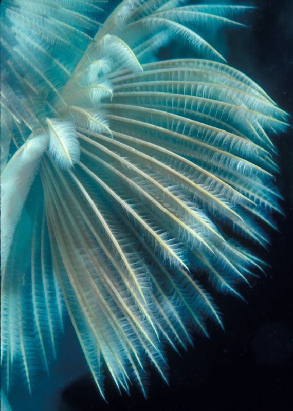 Turquoise Feather Duster Worms - Underwater Marvels