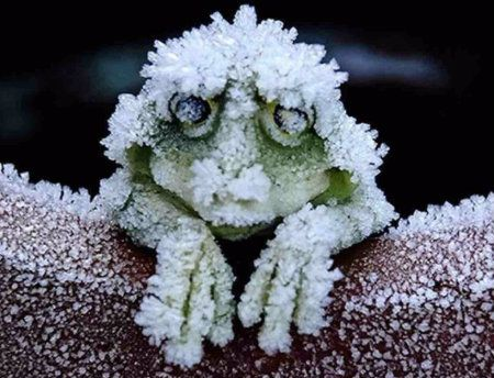 Do Alaskan Tree Frogs Freeze in the Winter? : snopes.com