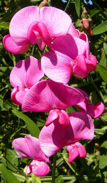 66 Best Flower Papilionaceous Images On Pinterest