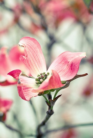 Pink Dogwood. inspiration to watercolor this