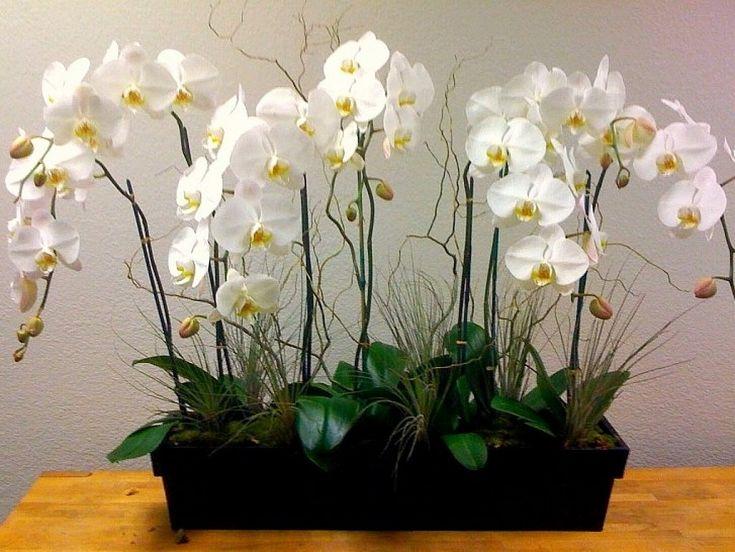 Orquídea Mariposa o Phalaenopsis