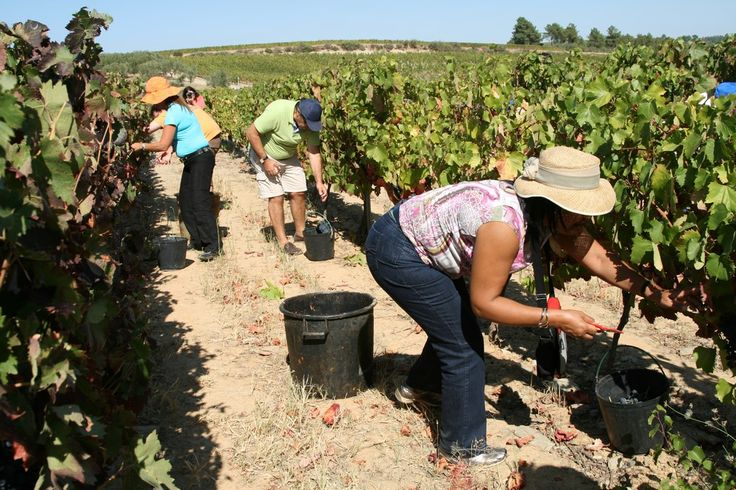 The Douro grape harvest is possibly one of the best times of year to visit this remarkable wine region. Especially if you take part in picking the grapes and treading them with your bare feet.