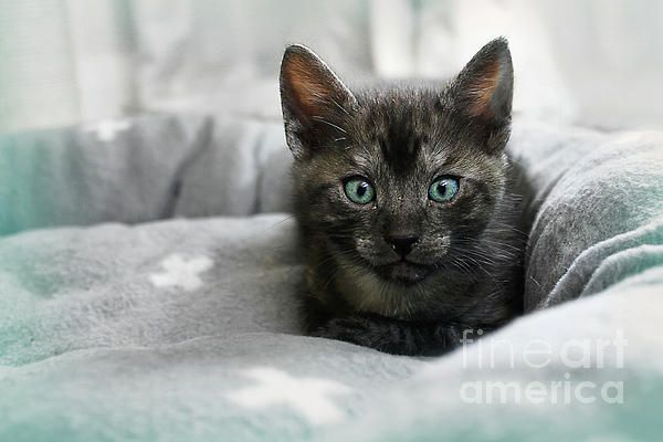 This pretty little #kitten with gorgeous aqua eyes is one of a litter of 5. A friend of my daughter fosters animals in need of care. I chose #selective_color for this image with a slight aqua vignette to enhance the kitten's aqua eyes. #Aqua #Eyes 2 by #Kaye_Menner #Photography Quality Prints Cards Products with a Money Back #guarantee at: https://kaye-menner.pixels.com/featured/aqua-eyes-2-by-kaye-menner-kaye-menner.html