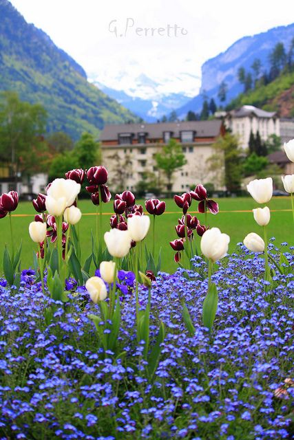 Tulips in Interlaken, Switzerland. Our tips for 25 fun things to do in Switzerland: http://www.europealacarte.co.uk/blog/2012/02/13/what-to-do-in-switzerland/