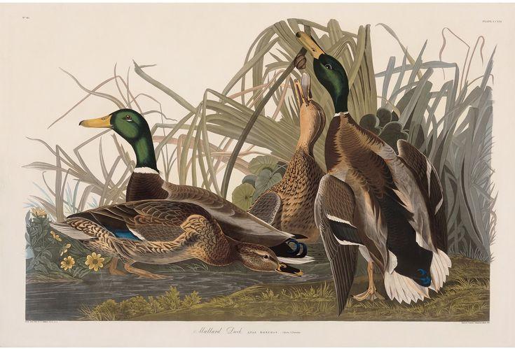 Rare Prints Mallard Duck
