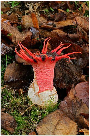 Starfish Fungi (Aseroe rubra) ~ © George McCarthy