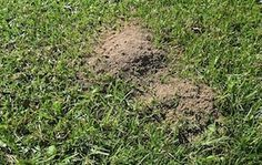 Killing Ants In Buffalo Lawns - The Buffalo Lawn Care Site - Palmetto | Sapphire | Sir Walter | Matilda | Buffalo Lawn Reviews