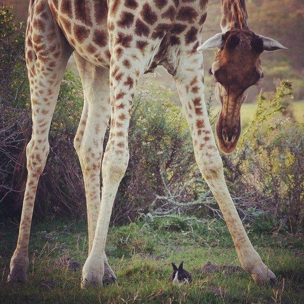こんな小さいウサギに気付くとは、キリンの注意深さもなかなかのものです