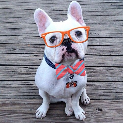 Me Nerdy! LOL!!! What a cute french bulldog picture!  {Puppy Love} {Pet Photography} {Dogs} {Animals}