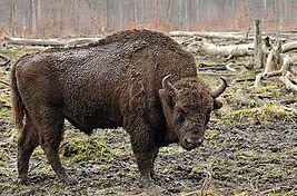 Bison bonasus (Linnaeus 1758) European Bison!!!