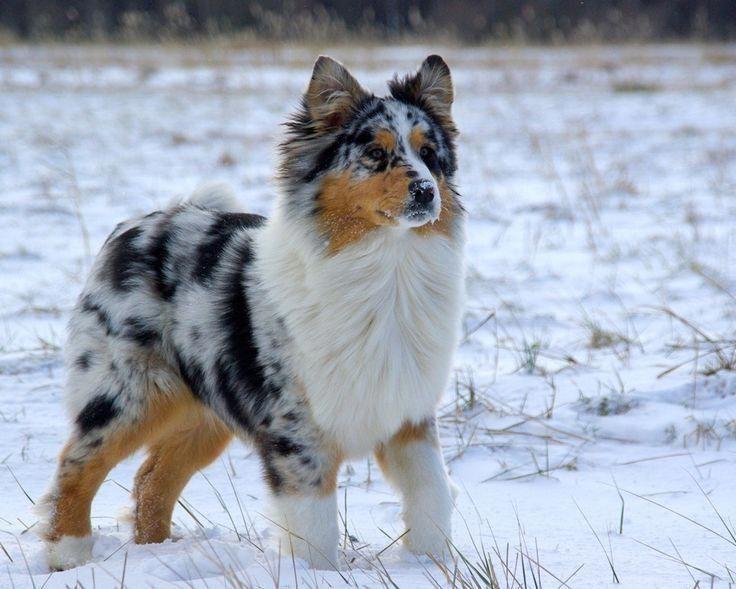 Australian Shepherd Dog Art Portraits, Fotografien…