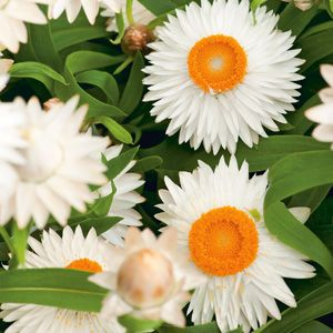 NEW! Xerochrysum bracteatum Native paper daisy with glittering white flowers with a golden yellow eye. Once established they are heat and drought tolerant a