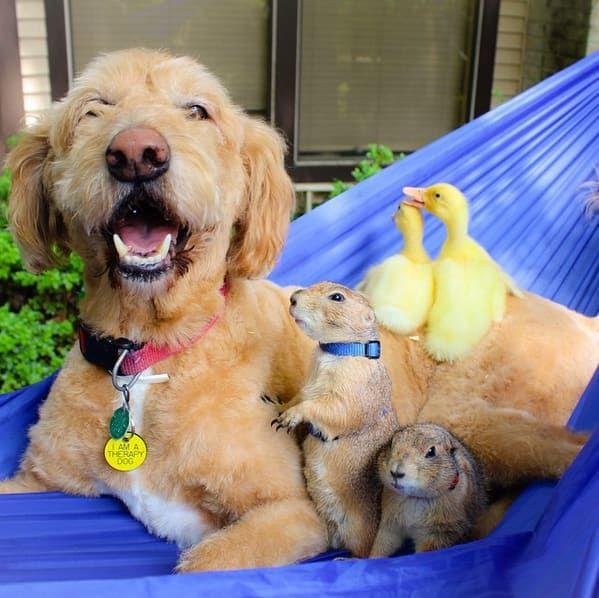 Motivo: Esta é uma família ridiculamente adorável composta por dois cães da pradaria, patinhos e um filhote de cachorro muito fofo. É tipo...o que mais você poderia pedir?