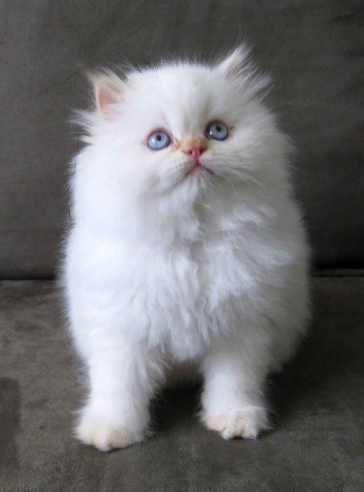 Also obsessed with fluffy white kittens namely my Eloise