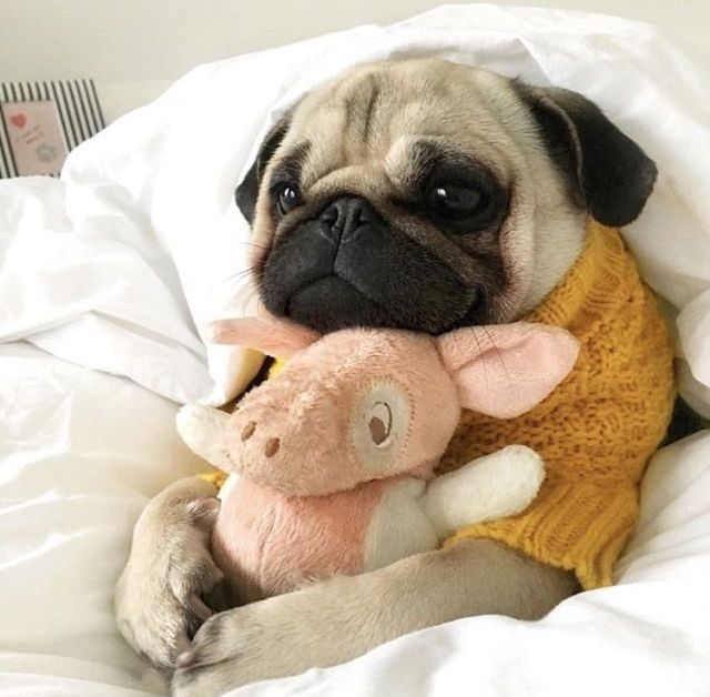 Off To Sleep Wif My Cuddler With Images Cute Pug Puppies