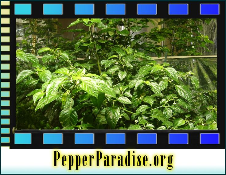huge indoor bhut jolokia ghost pepper plant seeds powder live plants